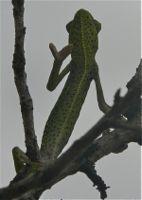 Cacheu-camaleonte